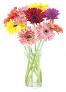 The gerbera daisy symbolises purity, innocence and beauty